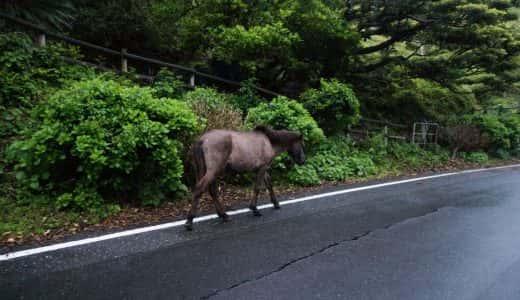 野生の馬がその辺の道を歩いてる!驚きの場所「都井岬」in 宮崎