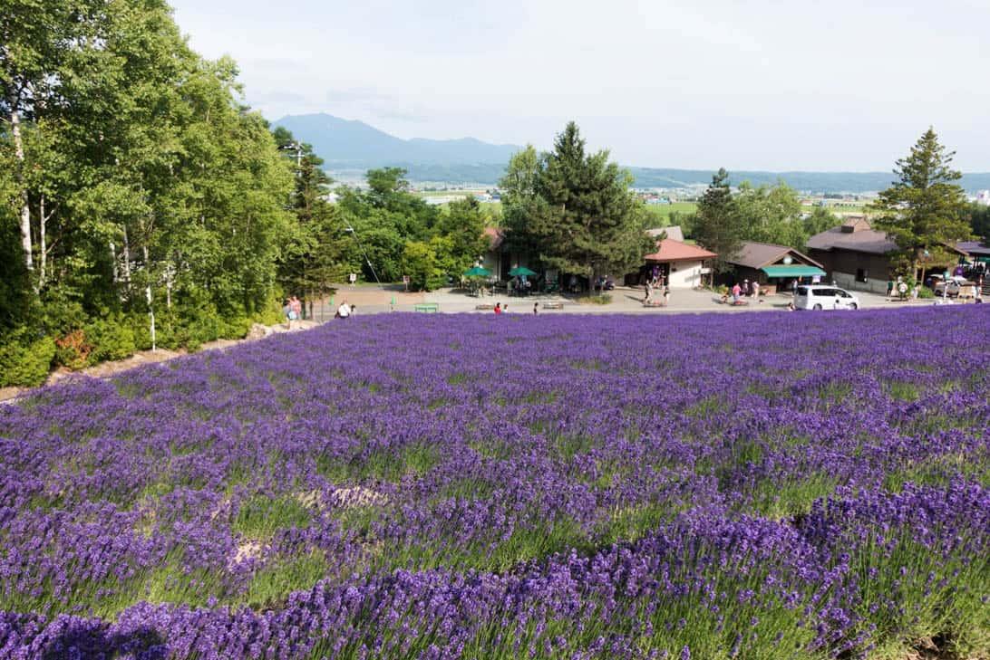 Hokkaido lavender 11