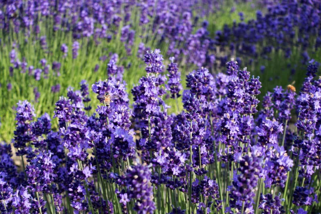 Hokkaido lavender 12