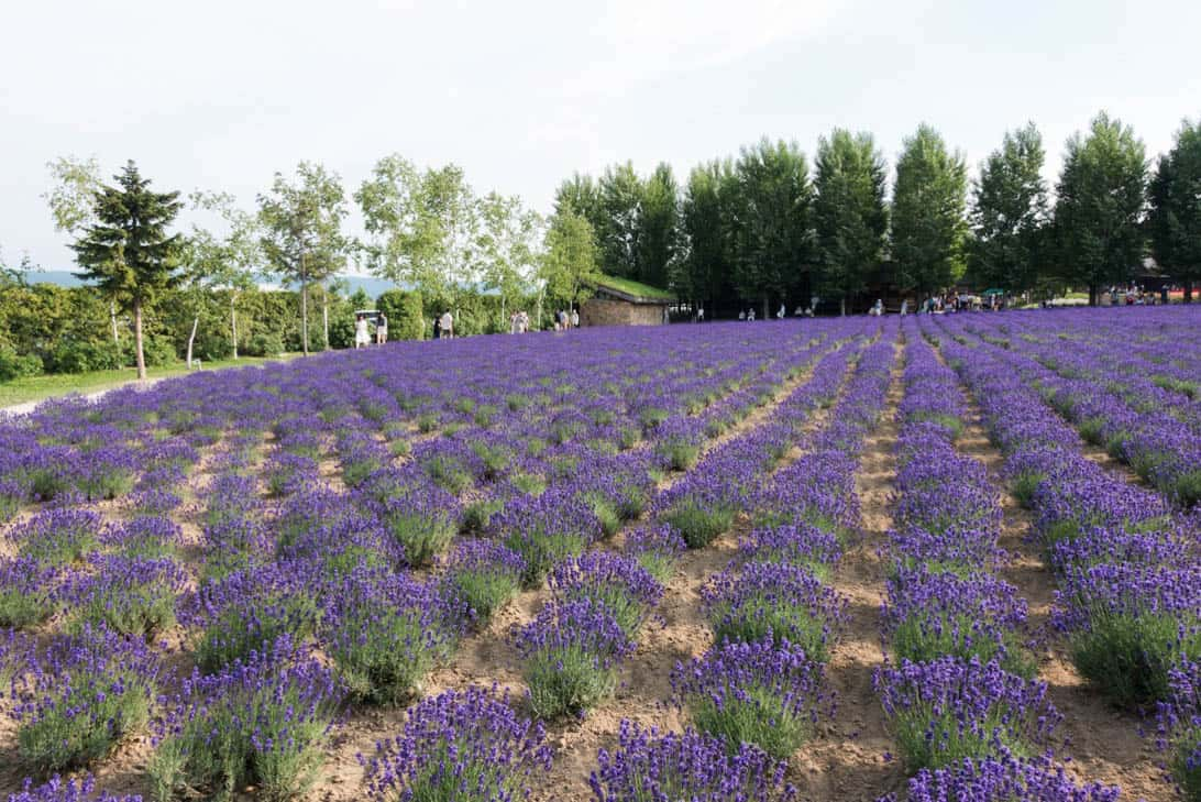 Hokkaido lavender 13