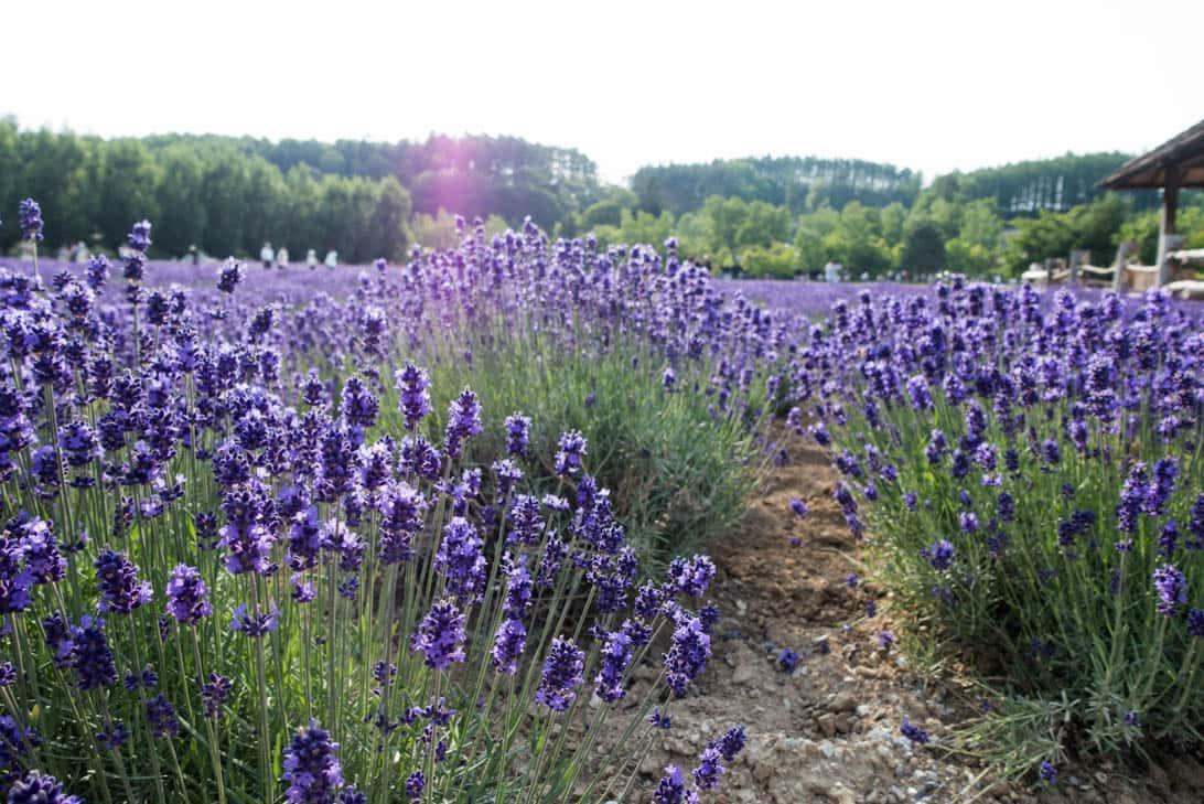 Hokkaido lavender 14