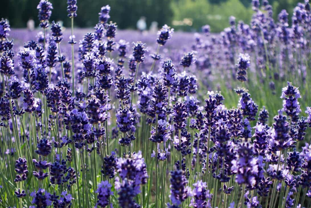 Hokkaido lavender 15