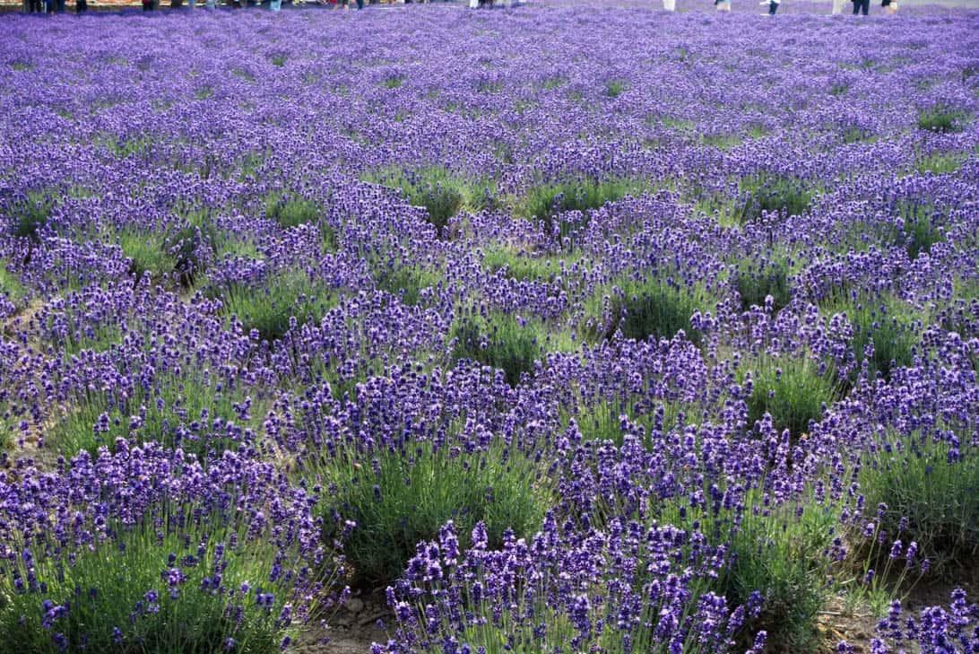 Hokkaido lavender 16