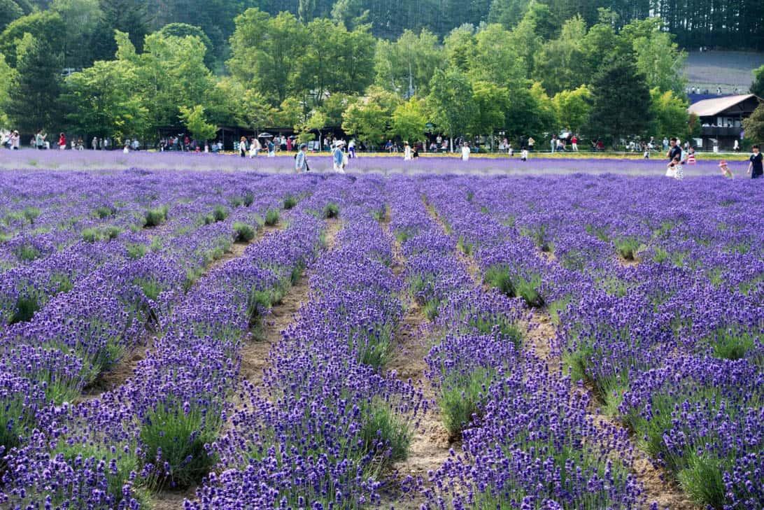 Hokkaido lavender 17