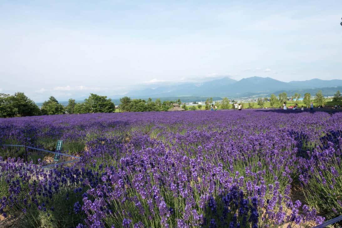 Hokkaido lavender 18