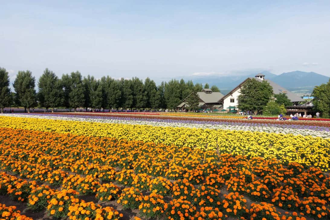 Hokkaido lavender 20