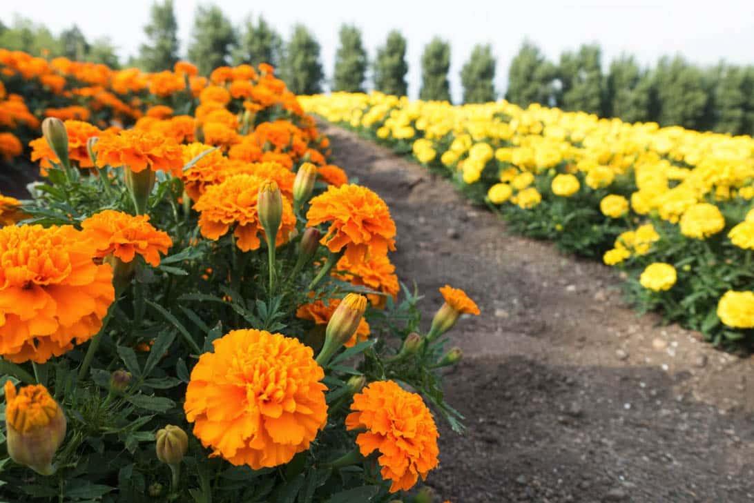 Hokkaido lavender 21