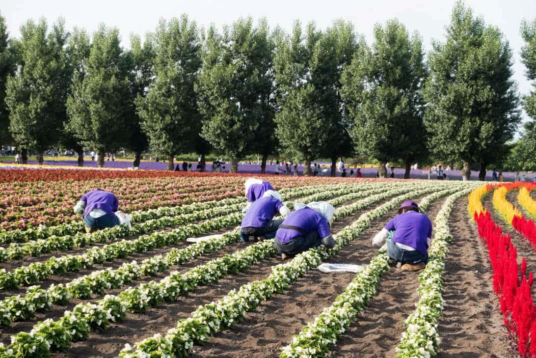 Hokkaido lavender 22