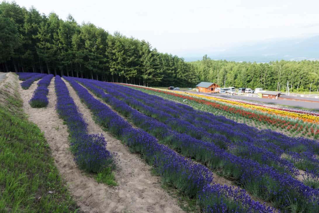 Hokkaido lavender 25
