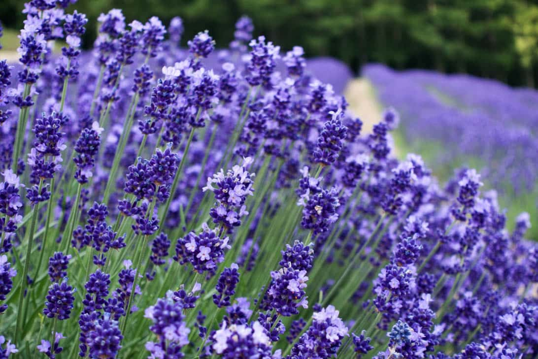 Hokkaido lavender 26