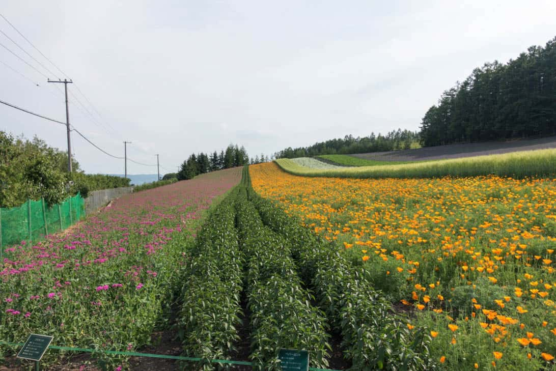 Hokkaido lavender 3