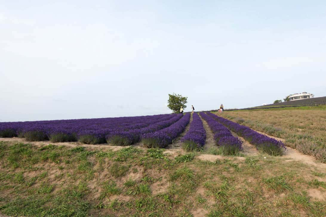 Hokkaido lavender 30