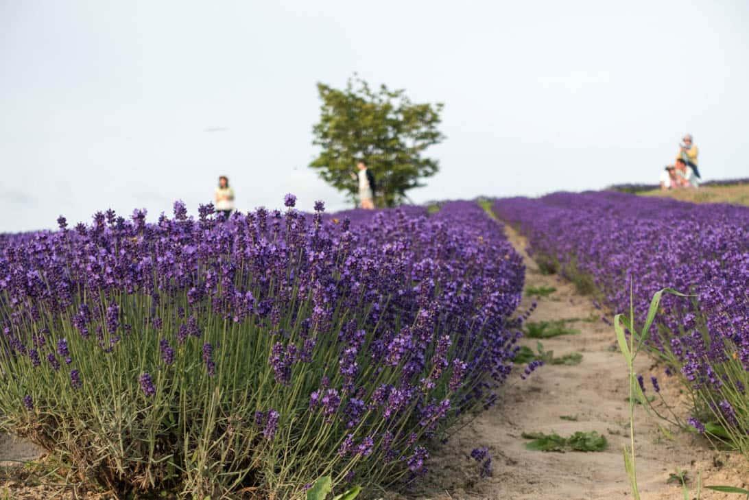 Hokkaido lavender 31