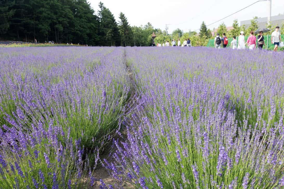 Hokkaido lavender 4