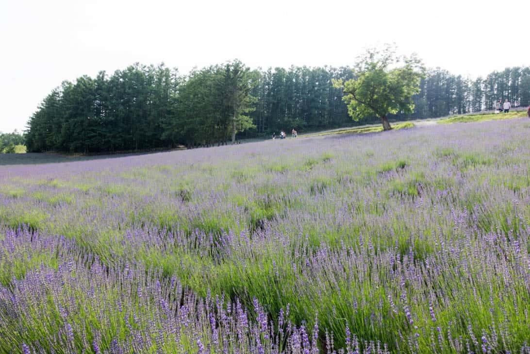 Hokkaido lavender 5