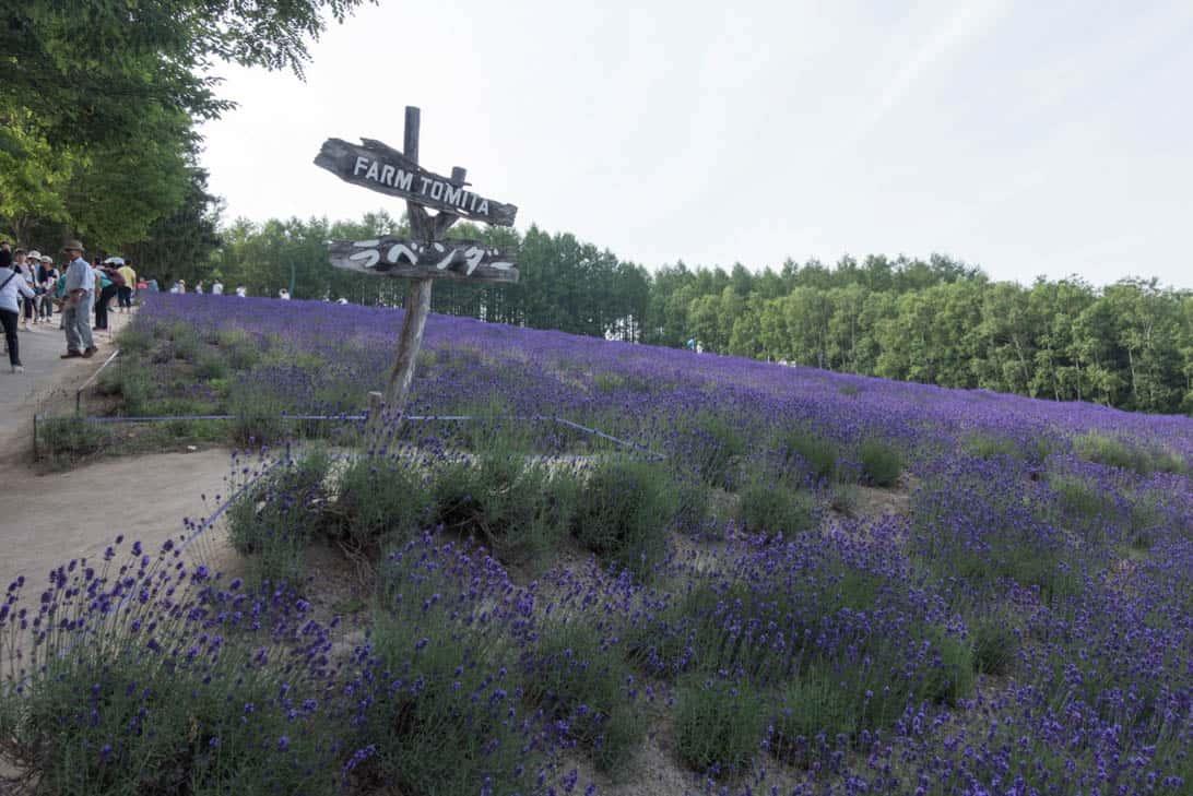 Hokkaido lavender 7