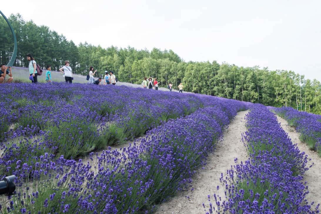 Hokkaido lavender 8