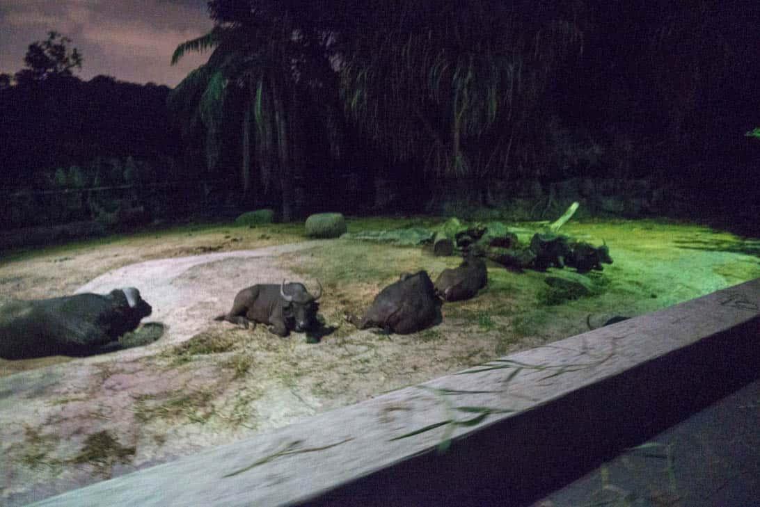 Night safari 13