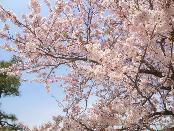 大濠公園の桜(新生活)