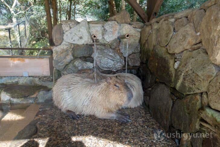 長崎バイオパークのカピバラ露天風呂