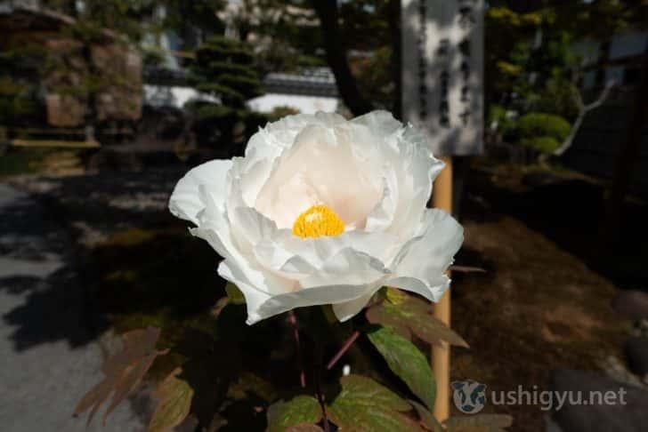 色鮮やかで美しい牡丹(白)