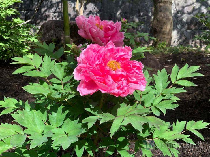 色鮮やかで美しい牡丹(ピンク)
