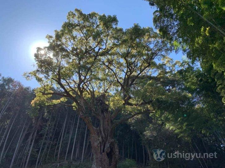 幹のゴツゴツとした樹皮も、長い年月の流れを感じさせて良い