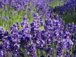 夏の北海道、富良野のラベンダー畑は絶景でした(ファーム富田など)